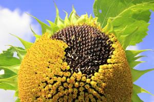Sonnenblume Ernten