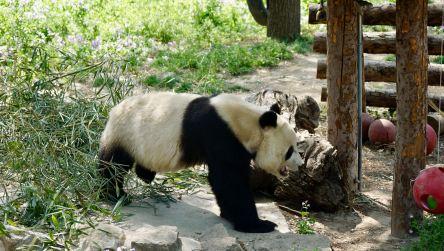 Panda_1 (1)