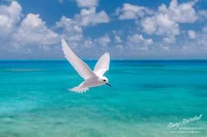 Fairy Tern Midway Island