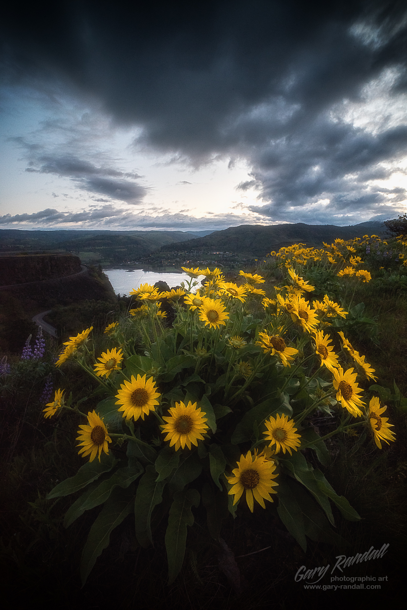Balsamroot Sunflowers at Rowena Heights in the Columbia River Gorge