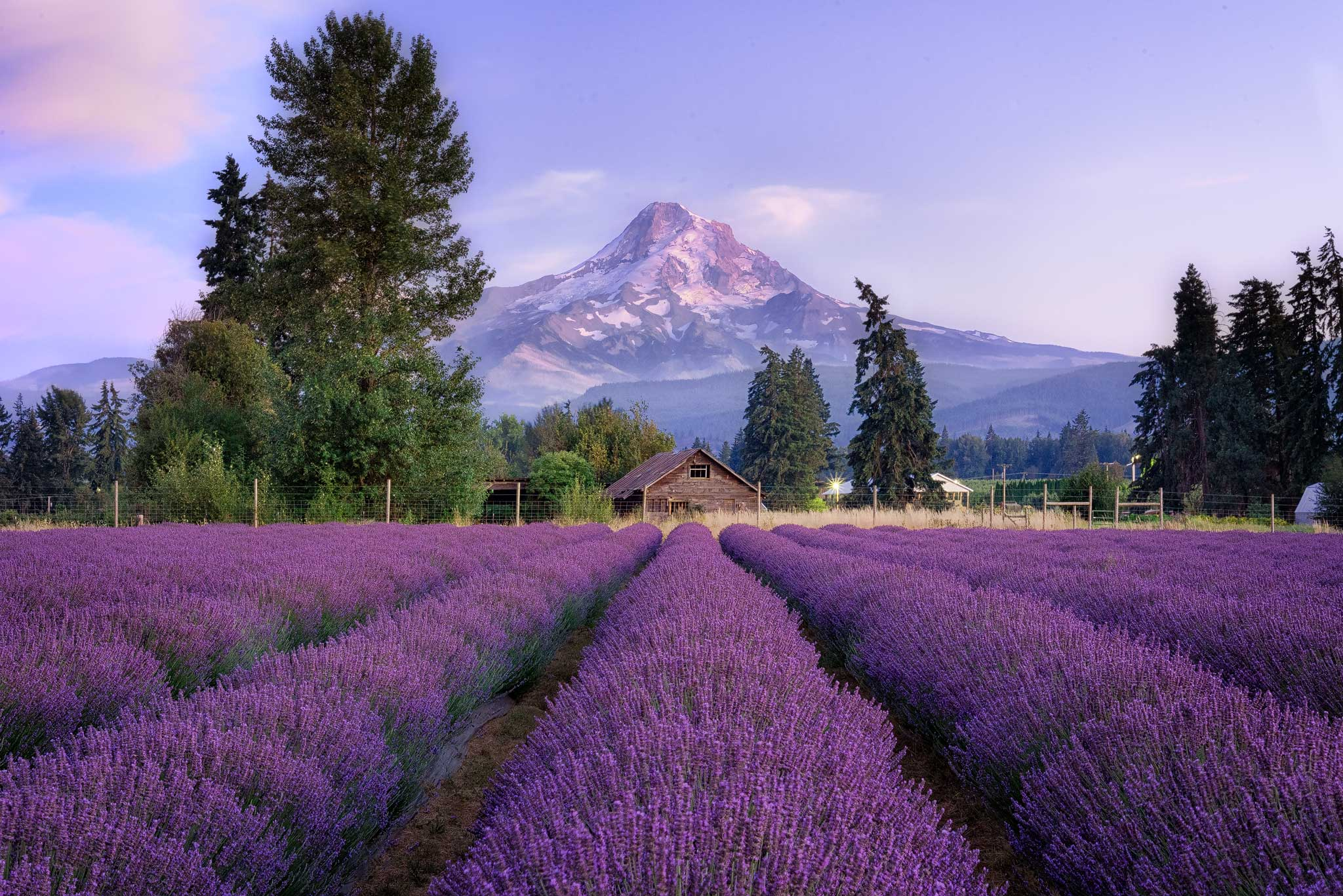 Purple Mountain Lavender