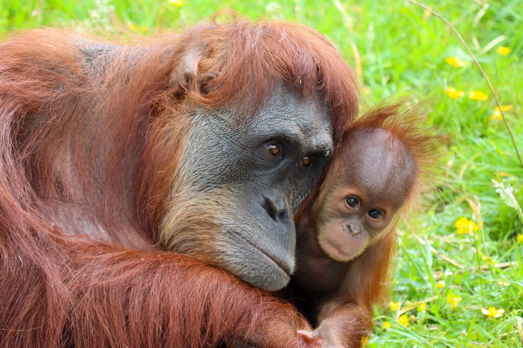 habitat loss and orangutan