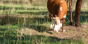 Cow grazing near Lake Ginninderra Gary Lum Sleep