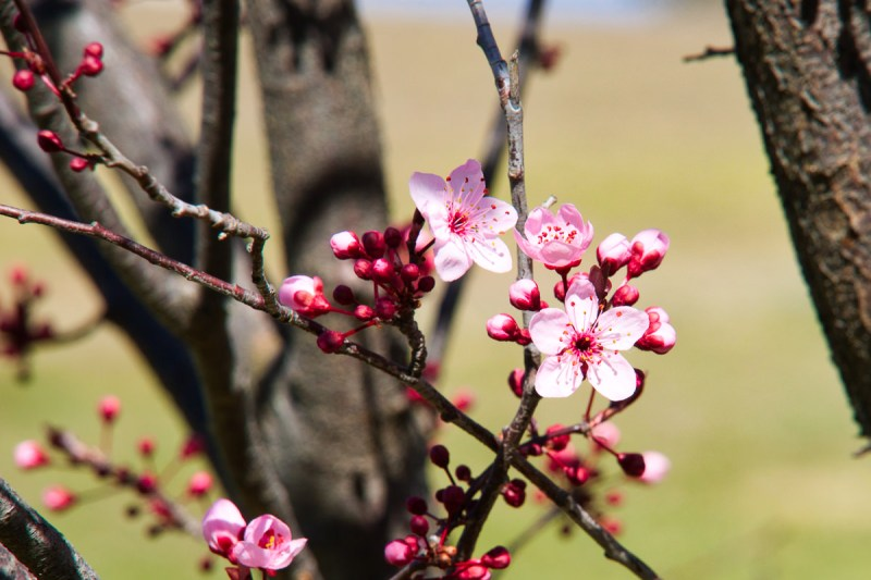 Blossoms of Lake Ginninderra on the first weekend of Spring Gary Lum