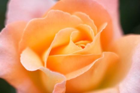 Rosemary Harkness rose. Heirloom Gardens. Oregon