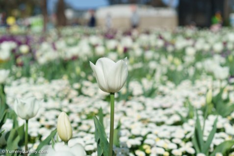 The flowers of Floriade are beautiful. | SONY ILCE-7S with FE 55mm F1.8 ZA at 55mm and f/4, 1/8000sec, ISO 400