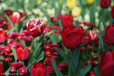 The flowers of Floriade are beautiful. | SONY ILCE-7S with FE 55mm F1.8 ZA at 55mm and f/4, 1/2500sec, ISO 400