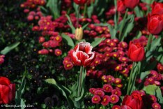 The flowers of Floriade are beautiful. | SONY ILCE-7S with FE 55mm F1.8 ZA at 55mm and f/4, 1/6400sec, ISO 400