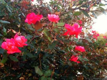 RosesRemaining