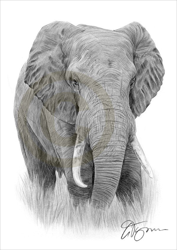 African Elephant Pencil Drawing