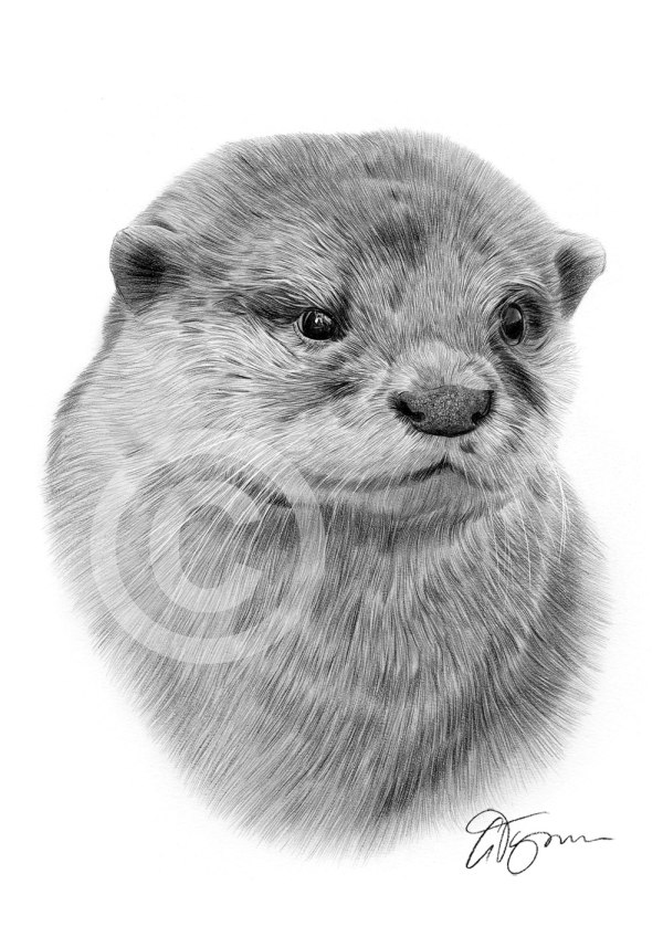 Baby Otter Drawing Pencil