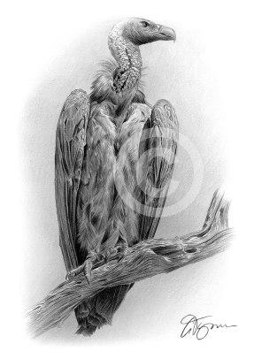 cape-vulture-commission