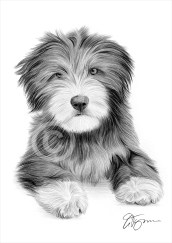 bearded_collie_puppy