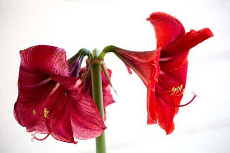 Fading red amaryllis blooms