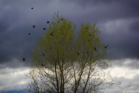 Blackbirds after a storm