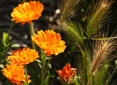 Calendula and foxtails