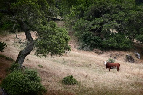 Oaks and cow scene