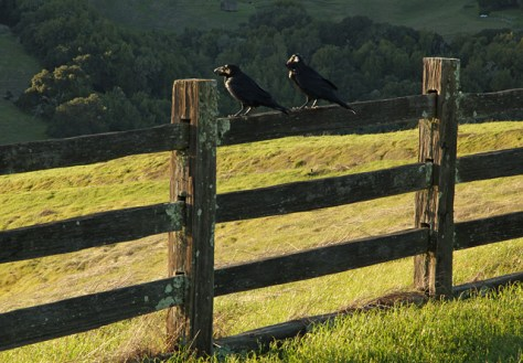 Crows on a fence