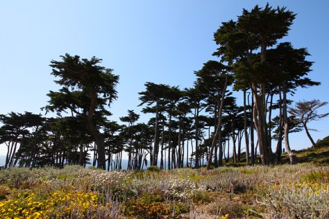 Cypress grove at Sutro Baths
