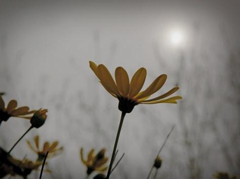 Daisy grabbing sunlight