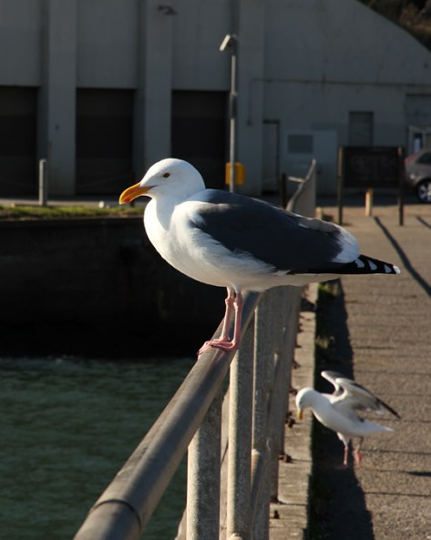 Gull at the Fort Baker fishing pier--color
