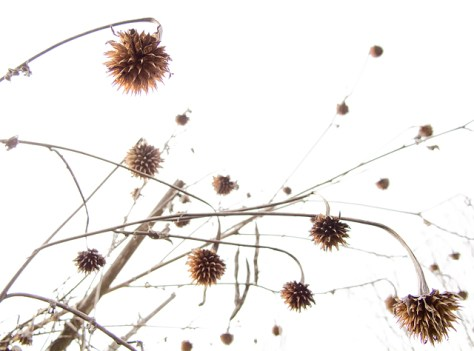 Mexican sunflower pods from underneath
