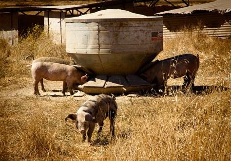 Pigs in summer