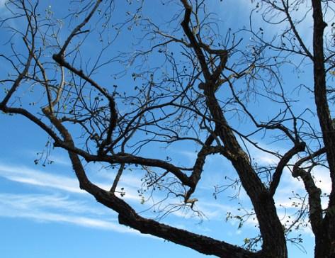 Old walnut tree