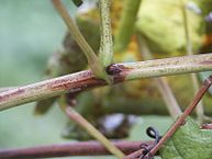 Flavescence dorée de la vigne – SUD DRÔME ARDECHE
