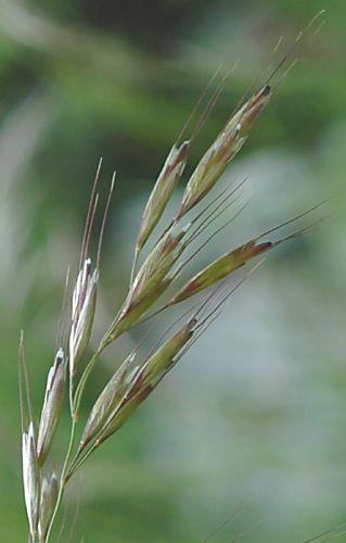 Gastein im Bild  ArchivPflanzen  Helictotrichon