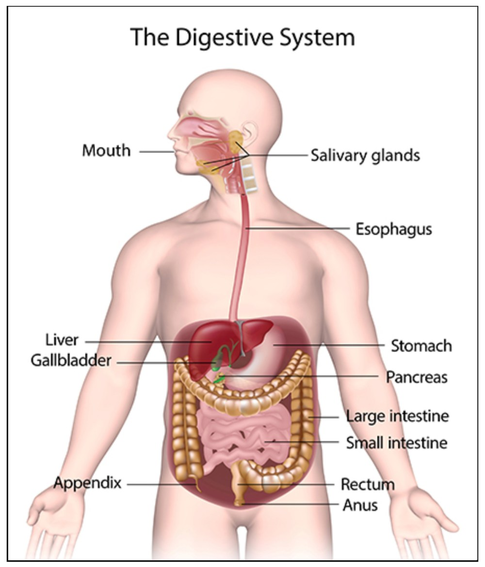 medium resolution of figure 1 the gastrointestinal system1