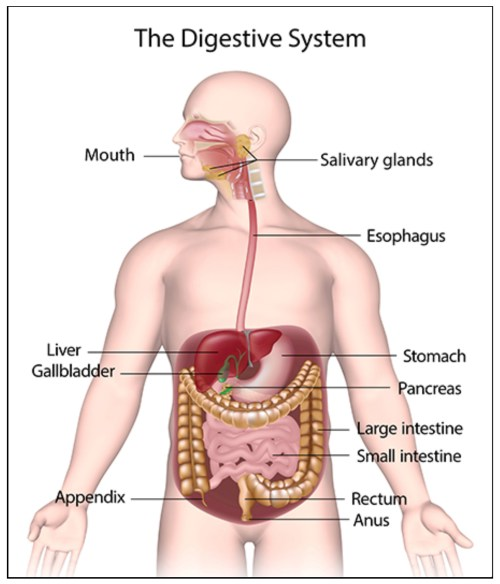 small resolution of figure 1 the gastrointestinal system1