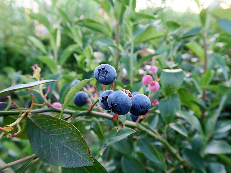 productos ecológicos de Galicia CRAEGA arandanos Biofruit Galicia