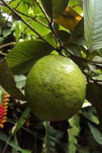 guava-215047_1280