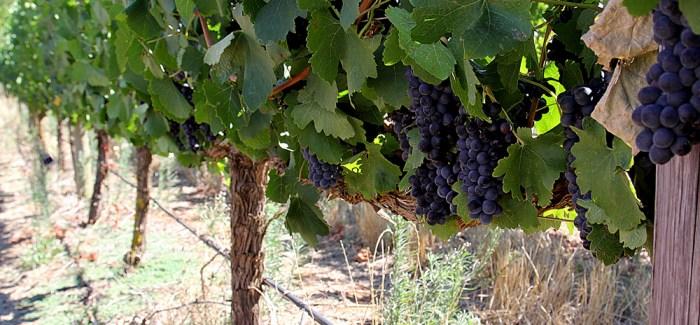 VIN UDEN PIS: Rødvin længe leve –  Syrah! Syrah! Syrah!