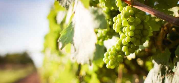 VIN UDEN PIS: I New Zealand laver de også vin