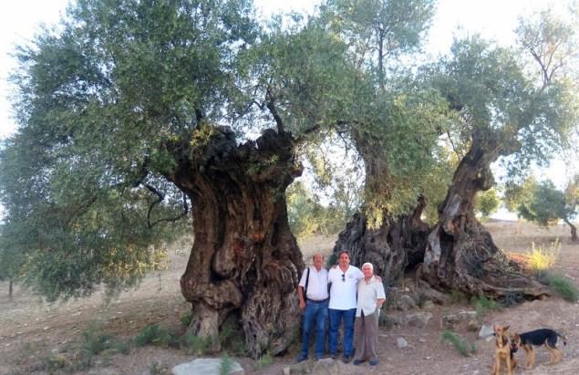 Llambregada Andalusia oliveres