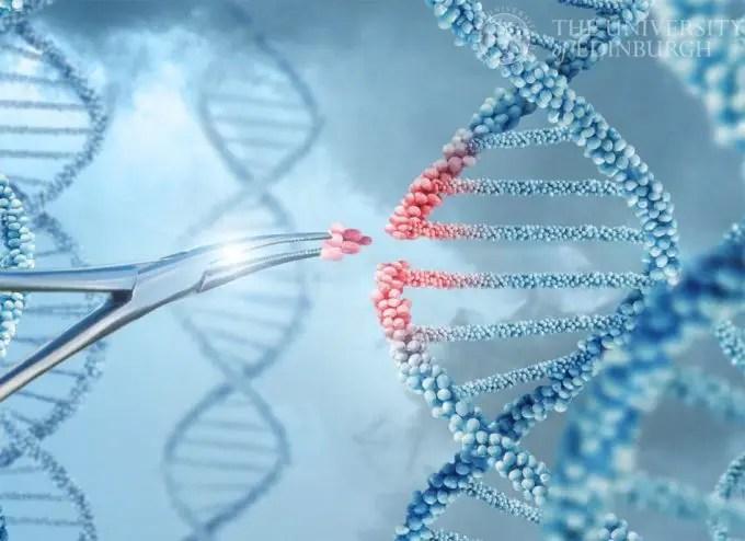 Cerdos editados genéticamente