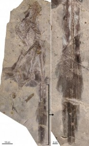 This shows Changyuraptor with (right) details of plumage. (Credit: Photo by L. Chiappe, Dinosaur Institute, NHM)