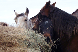 trio eating hay