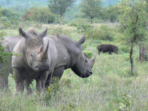 Photo of a pair of rhinos at Kruger National Park via Chris Eason