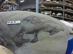 Partial dinosaur skull