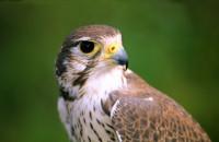 Female Prairie Falcon