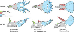 Schematic line drawings of a Centrosaurine (Styracosaurus) and a Chasmosaurinae (Triceratops) with the new horned dinosaur Regaliceratops. Although Regaliceratops is closely related to Triceratops, the features of the horns and frill are superficially similar to centrosaurines. Courtesy of Royal Tyrrell Museum of Palaeontology, Drumheller, Alberta. Art by Caleb Brown.