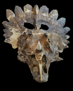 Photograph of the skull of the new horned dinosaur Regaliceratops peterhewsi in anterior view. Courtesy of Royal Tyrrell Museum of Palaeontology, Drumheller, Alberta.