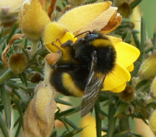 """""""Bumblebee on gorse flower"""" by Neil Phillips from uk is licensed under CC BY 2.0"""