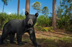 Habitat conservation has helped the Florida black bear population grow from about 300 in the 1970s to 3,000 today. (Photo: Carlton Ward Jr.)
