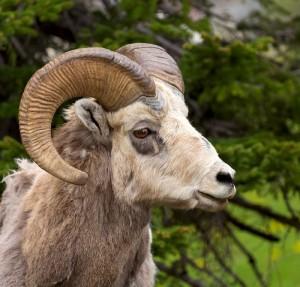 Big Horn Sheep in Waterton Village - Frank Weinschenk