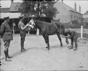 Officers bandaging a horse hit by shrapnel  © Canada. Dept. of National Defence/ Library and Archives Canada / PA-001680