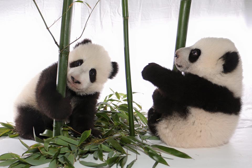 Toronto Zoo - Panda cubs